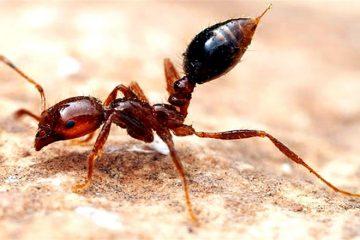 Ateş Karıncalarının Zehri Deri Hastalıklarının Tedavisinde Kullanılabilir