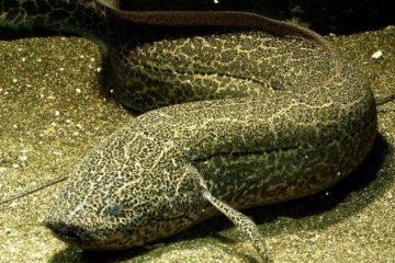 Bilim İnsanları, Bir Akciğerli Balık Fosili Daha Buldu